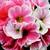 Primulas: Primula Obconica, 'Grace™ Orange Bicolor'