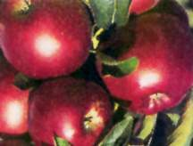 Apple Tree, Miniature Stark® Colonnade® 'Stark Ultra Spire'™