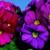 Primulas: Primula Obconica, 'Grace™ Purple'
