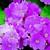 Primulas: Primula Obconica, 'Grace™ Rose'