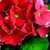 Primulas: Primula Obconica, 'Grace™ Scarlet'