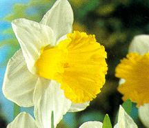 Daffodils_and_narcissus_narcissus_x_las_vegas-1.full