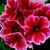 Primulas: Primula Obconica, 'Grace™ Scarlet Picotee'