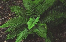 Fern, Japanese Tassel