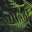 Fern, Japanese Shield