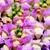 Snapdragon: Antirrhinum majus 'Montego™ Blush'