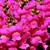 Snapdragon: Antirrhinum majus 'Montego™ Pink'