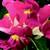 Snapdragon: Antirrhinum majus 'Montego™ Rose Bicolor'