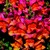 Snapdragon: Antirrhinum majus 'Montego™ Sunset'