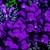 Snapdragon: Antirrhinum majus 'Montego™ Violet'