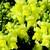 Snapdragon: Antirrhinum majus 'Montego™ Yellow'