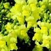 Snapdragon_antirrhinum_majus_montego_tm_yellow-1.thumb