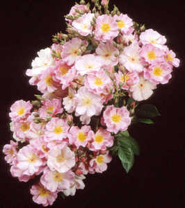 Rose, Shrub 'Flower Girl'™