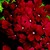 Verbenas_verbena_x_hybrida_obsession_tm_bordeaux-1.small