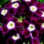 Verbenas_verbena_x_hybrida_obsession_tm_burgundy_with_eye-1.small