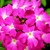 Verbenas_verbena_x_hybrida_obsession_tm_coral_with_eye-1.small