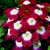 Verbenas_verbena_x_hybrida_obsession_tm_crimson_with_eye-1.small