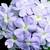 Verbenas: Verbena x hybrida 'Obsession™ Lavender'