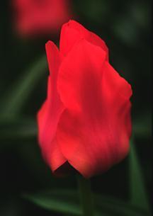 Tulip, Greigii 'Red Riding Hood'