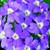 Verbenas: Verbena x hybrida 'Obsession™ Light Blue With Eye'