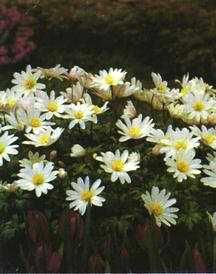 Anemone, Blanda White Splendor