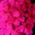Verbenas_verbena_x_hybrida_obsession_tm_pink-1.small