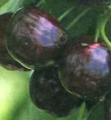 Cherry Tree, Royalton Sweet semi-dwarf