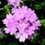 Verbenas_verbena_x_hybrida_obsession_tm_pink_chiffon-1.small