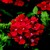 Verbenas_verbena_x_hybrida_obsession_tm_red-1.small