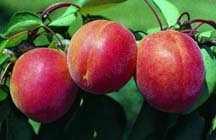Apricot Tree, 'Stark® Earli-Orange™' standard