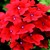 Verbenas_verbena_x_hybrida_obsession_tm_scarlet-1.small