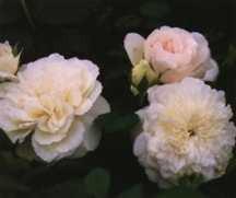 Rose, Antique Climbing Tea 'Sombreuil' (1850)
