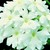 Verbenas_verbena_x_hybrida_obsession_tm_white-1.small