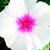 Vinca: Catharanthus Roseus, 'Sundress™ White With Eye'