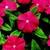 Vinca: Catharanthus Roseus, 'Sunstorm® Bright Red'