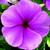 Vinca: Catharanthus Roseus, 'Sunstorm® Deep Lilac'