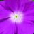 Vinca: Catharanthus Roseus, 'Sunstorm® Orchid'