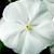 Vinca: Catharanthus Roseus, 'Sunstorm® Pure White'
