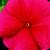 Vinca: Catharanthus Roseus, 'Sunstorm® Red'