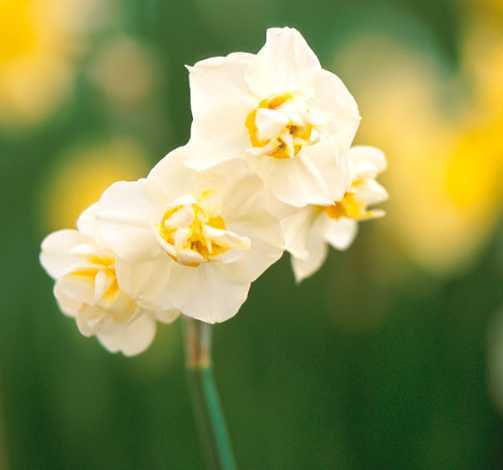 Daffodils_and_narcissus_narcissus_x_poetaz_cheerfulness-1.full