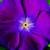 Vinca: Catharanthus Roseus, 'Sunstorm® Violet W/Eye'