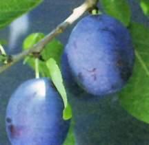 Prune-Plum Tree, Earliblue standard