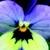 Violas: Viola Cornuta, 'Endurio® Blue Yellow W/Purple Wing'