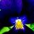 Violas: Viola Cornuta, 'Endurio® Pure Violet'