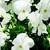 Violas: Viola Cornuta, 'Endurio® White'