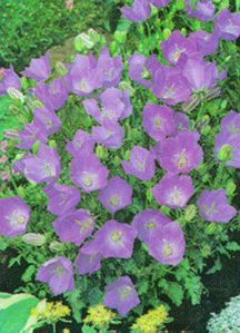 Bellflower_campanula_carpatica_blaue_clips-1.full
