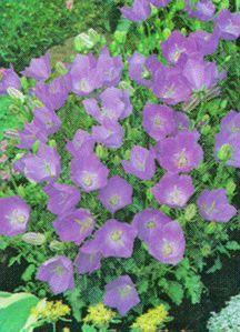 Bellflower, 'Blue Clips' Tussock