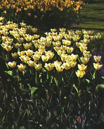 Tulips_tulipa_purissima-1.full