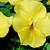 Violas: Viola Cornuta, 'Patiola® Pure Lemon Yellow'