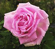 Rose, Antique Rugosa 'Conrad Ferdinand Meyer' (1899)